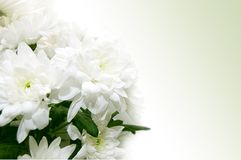White chrysanthemum bouquet Stock Images
