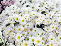 White chrysanthemum bunch for ready to sale. Royalty Free Stock Images