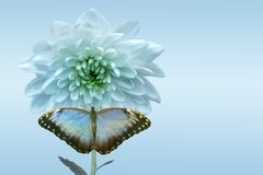 White chrysanthemum and butterfly. On turn blue background stock photography
