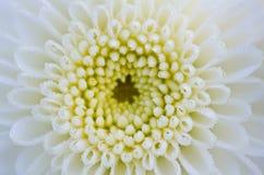 White chrysanthemum close up Royalty Free Stock Image