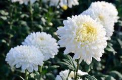 White chrysanthemum close up Stock Photo