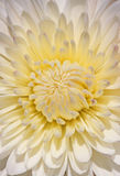 White chrysanthemum Stock Photos