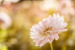White chrysanthemum close-up Stock Photos