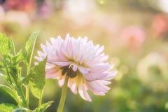 White chrysanthemum close-up Royalty Free Stock Image