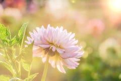 White chrysanthemum close-up Royalty Free Stock Photos