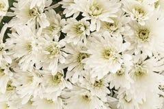 White Chrysanthemum Closeup as Background Stock Image