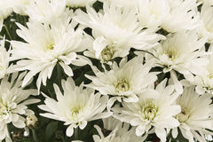 White Chrysanthemum Closeup Royalty Free Stock Image