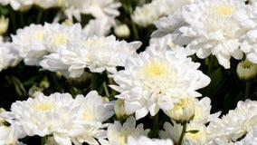 White Chrysanthemum (Dendranthemum grandifflora) in closed-up. royalty free stock photo