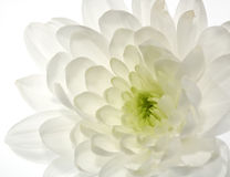 White Chrysanthemum flower Royalty Free Stock Photos