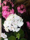 White chrysanthemum flower stock photography