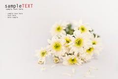 White Chrysanthemum Flower Royalty Free Stock Photos