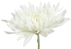 White Chrysanthemum Flower Stock Photos