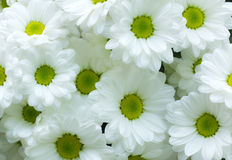 White Chrysanthemum flower Stock Images