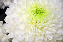 White chrysanthemum flower. Background of white chrysanthemum flowers Royalty Free Stock Image