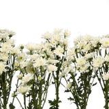 White chrysanthemum flower Royalty Free Stock Image