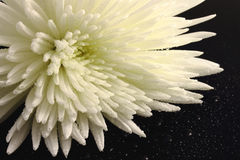 White chrysanthemum. Flower of a white chrysanthemum on a black mirror and water drops Royalty Free Stock Photos