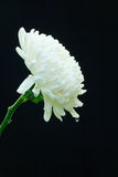 White Chrysanthemum Flower. White Chrysanthemum flower blossom on black background Stock Images