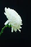 White Chrysanthemum Flower. Stock Images