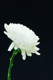 White Chrysanthemum Flower Blossom. White Chrysanthemum Flower blossom on black background Royalty Free Stock Photos