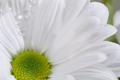 White Chrysanthemum flower. Royalty Free Stock Image