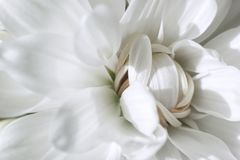 White Chrysanthemum flower close-up stock images