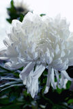 White chrysanthemum flower close up Stock Photography
