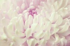 White chrysanthemum flower Royalty Free Stock Photography