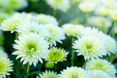White Chrysanthemum in flower garden agriculture background with soft focus. And have some space for write wording royalty free stock images