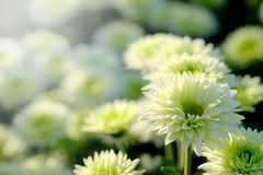White Chrysanthemum in flower garden agriculture background with soft focus. Royalty Free Stock Photos