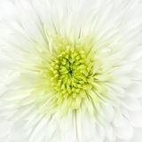 White Chrysanthemum Flower Head Closeup Detail Royalty Free Stock Photo