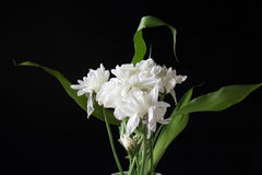 White chrysanthemum flower isolated on black background Royalty Free Stock Photography