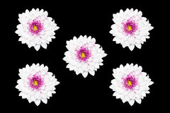 White Chrysanthemum flower  Isolated on black Background Royalty Free Stock Photos