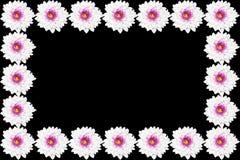 White Chrysanthemum flower  Isolated on black Background Stock Images