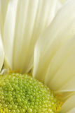 White  chrysanthemum flower  macro background Stock Photography