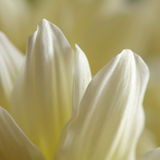 White  chrysanthemum flower  macro background Royalty Free Stock Image
