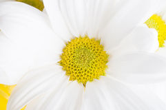 White Chrysanthemum flower Macro Stock Images