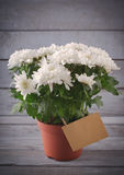 White Chrysanthemum in flower pot with gift, greeting card, on grey wooden backround Stock Image
