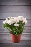 White Chrysanthemum in flower pot with gift, greeting card, on grey wooden backround Stock Photography