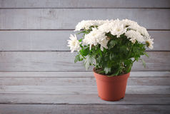 White Chrysanthemum in flower pot with gift, greeting card, on grey wooden backround Royalty Free Stock Photography