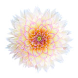 White Chrysanthemum Flower with Purple Center Isolated Royalty Free Stock Photo