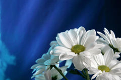 White chrysanthemum flower. On the shine blue background stock photography