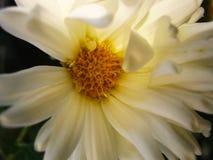 White chrysanthemum flower in the sun rise stock photo