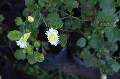 White chrysanthemum flower Type Species name Chrysanthemum indicum linn.  royalty free stock photography