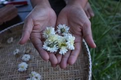 White chrysanthemum flower Type Species name Chrysanthemum indicum linn. On hand stock photos