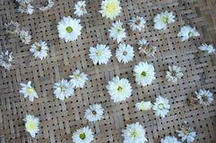 White chrysanthemum flower Type Species name Chrysanthemum indicum linn. On tray royalty free stock images