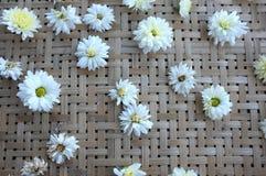 White chrysanthemum flower Type Species name Chrysanthemum indicum linn. On tray royalty free stock photography