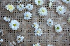 White chrysanthemum flower Type Species name Chrysanthemum indicum linn. On tray royalty free stock image