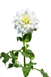 White chrysanthemum flower with a young bud on a white background Stock Photo