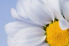 White chrysanthemum flowers Royalty Free Stock Photo