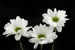 White chrysanthemum flowers against black. Three white chrysanthemum flowers isolated against black Stock Photos
